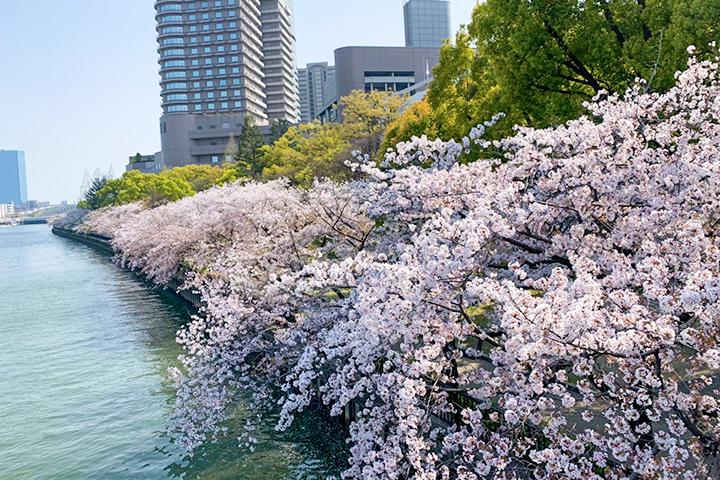 毛马樱之宫公园的樱花