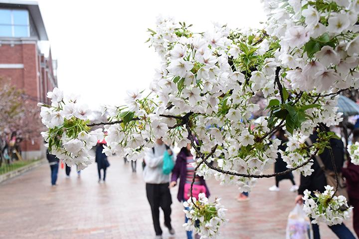 大阪造币局的赏樱之旅!