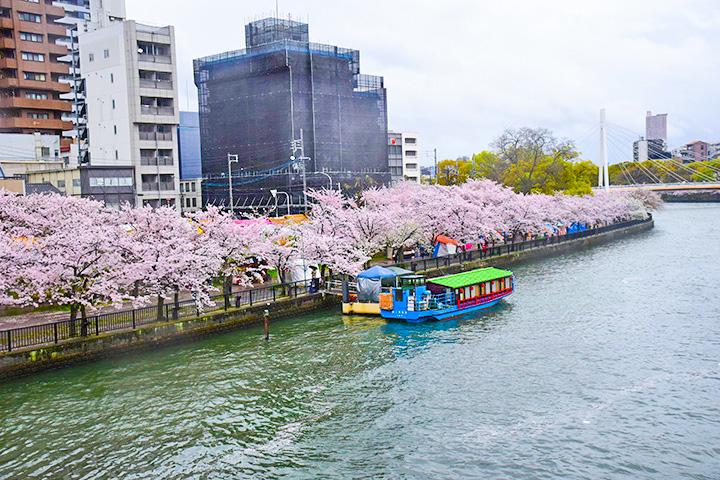 天满桥的樱花