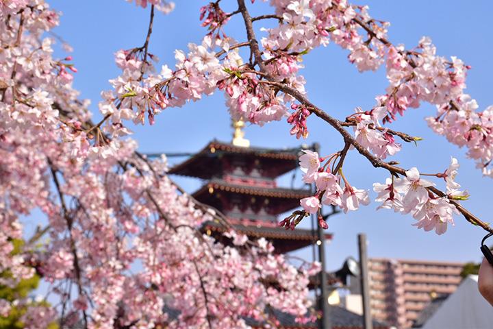 和宗 总本山 四天王寺的樱花