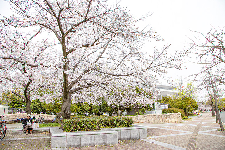 长居公园的樱花